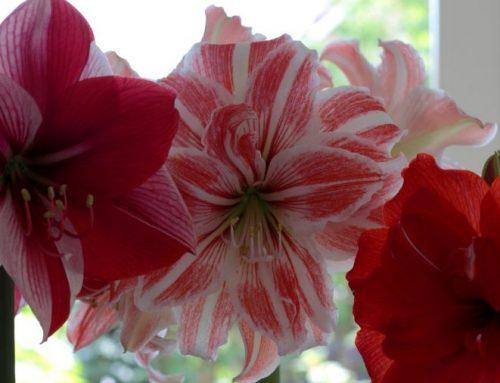Tipp des Monats – Amaryllis